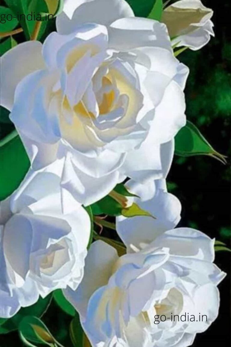 three white rose in one HD wallpaper