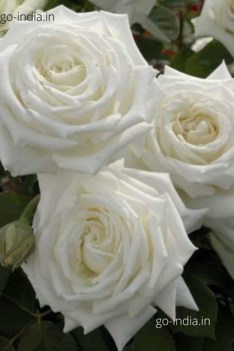 three white rose in one wallpaper