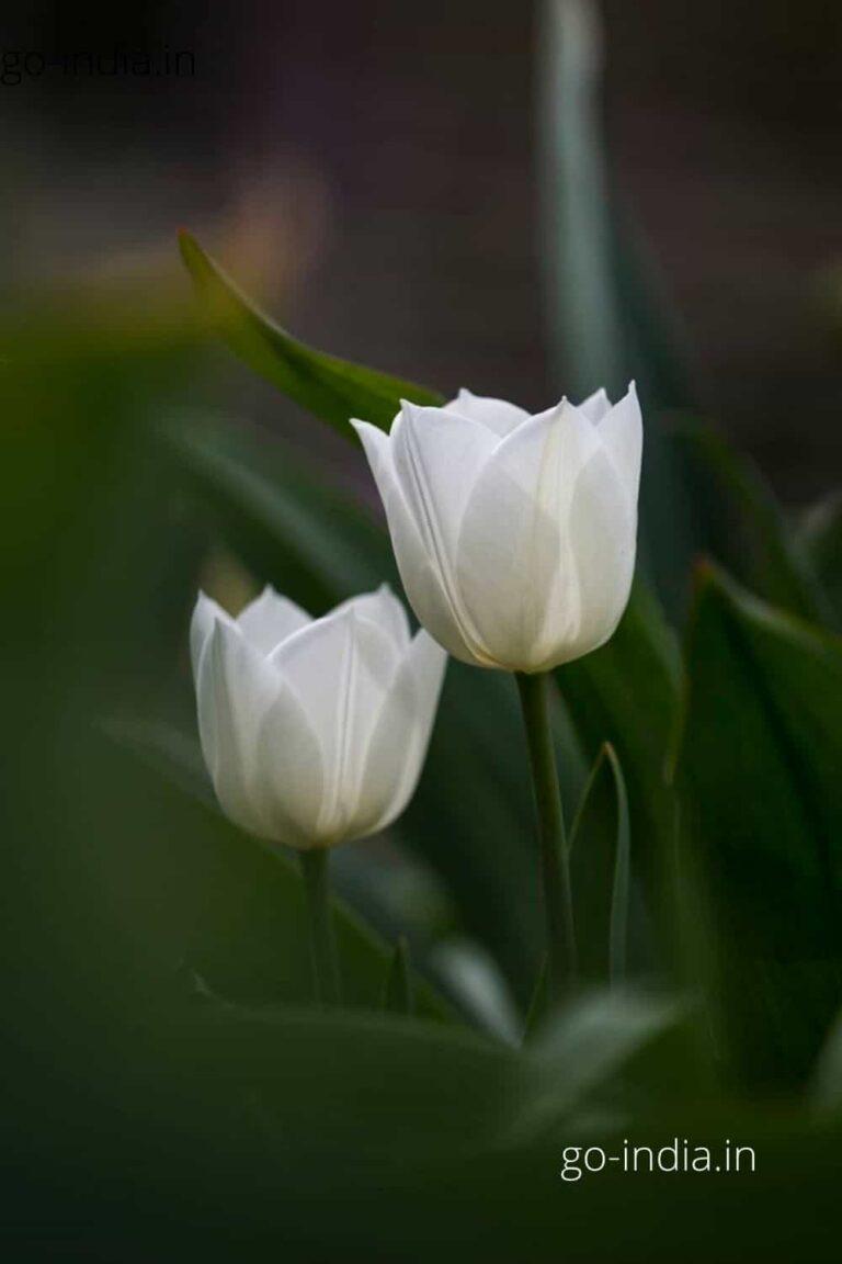 two lovely white rose wallpaper