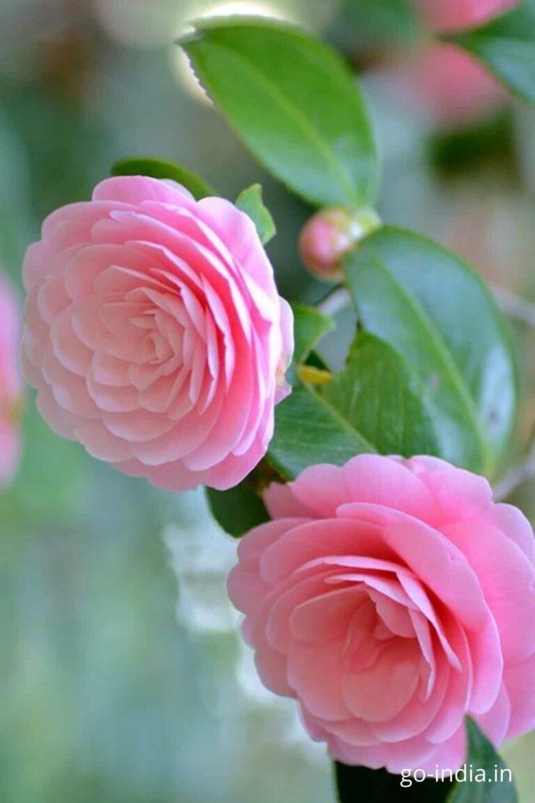two pink rose inone HD wallpaper