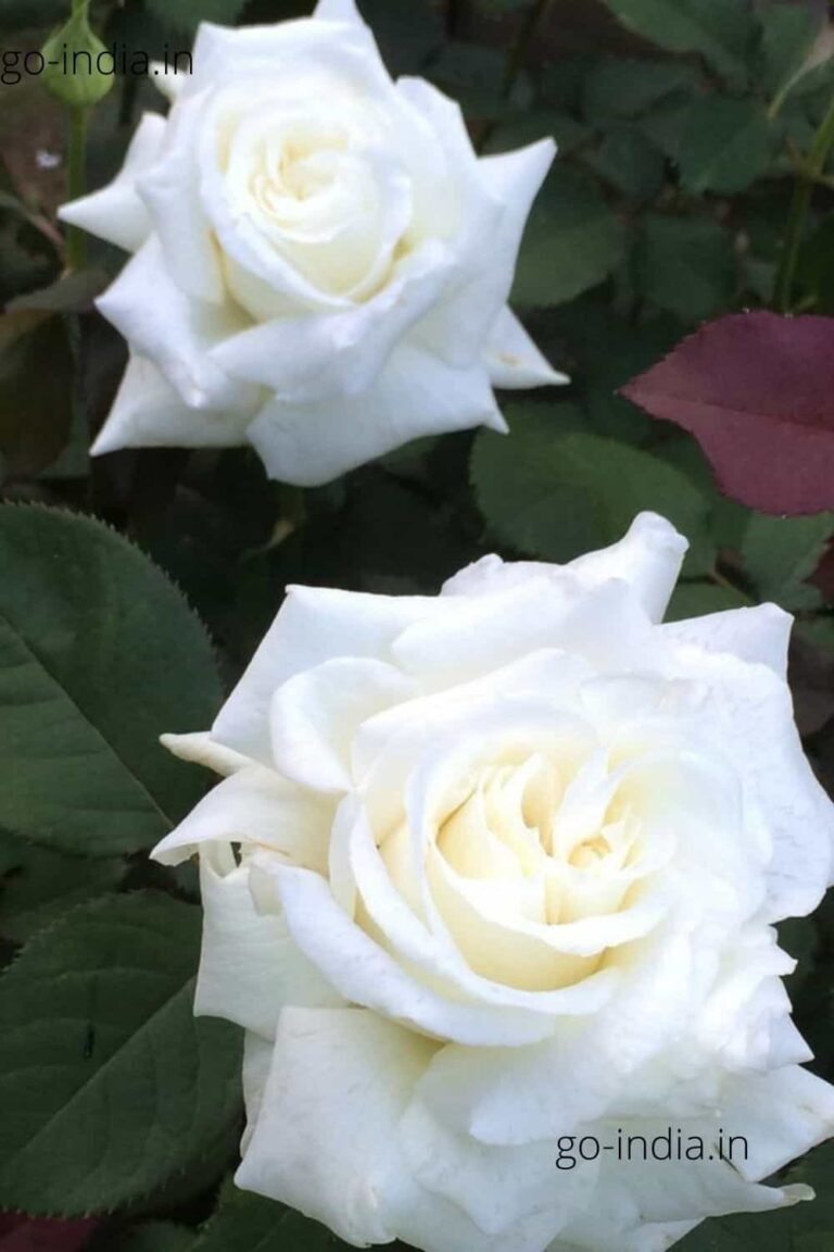 two white rose in one wallpaper