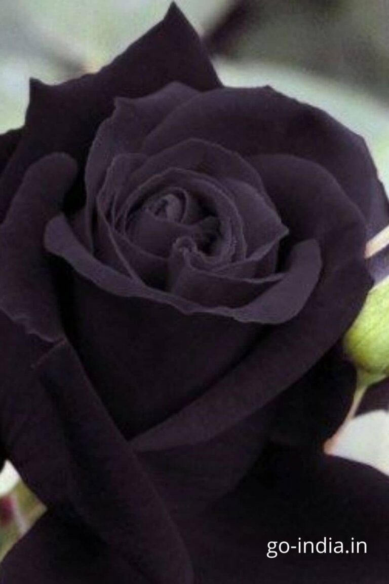 wallpaper of black rose