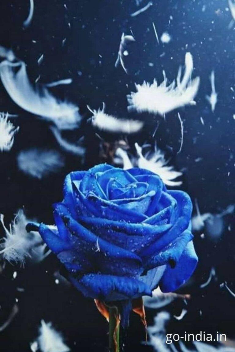 wallpaper of blue rose flowers