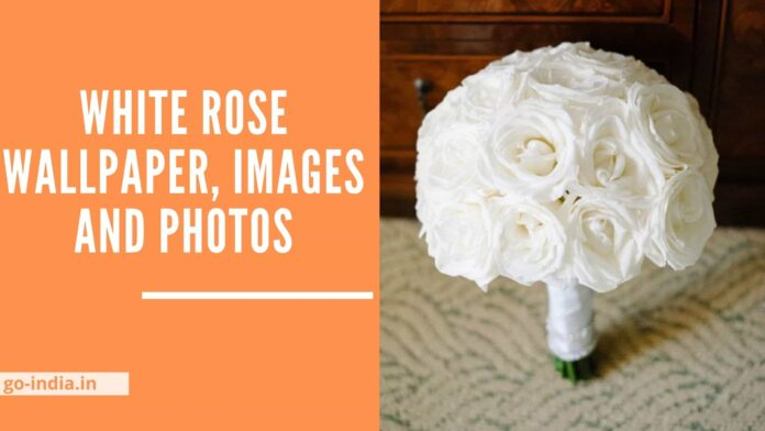 white Rose Wallpaper, Images and Photos