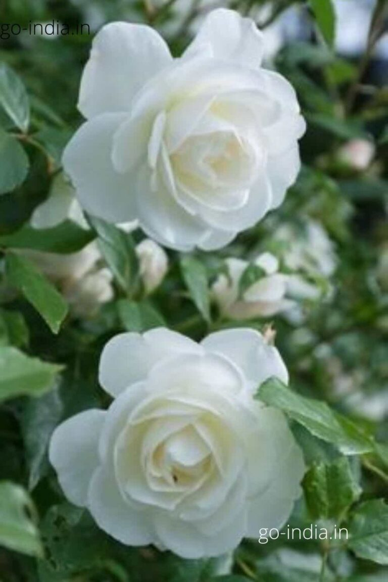 white rose in HD quality image