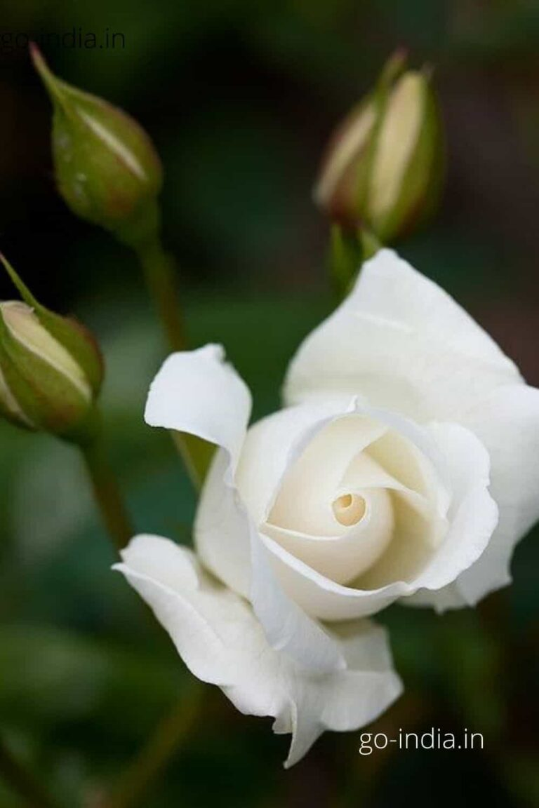 white rose with a blomming flower besides it