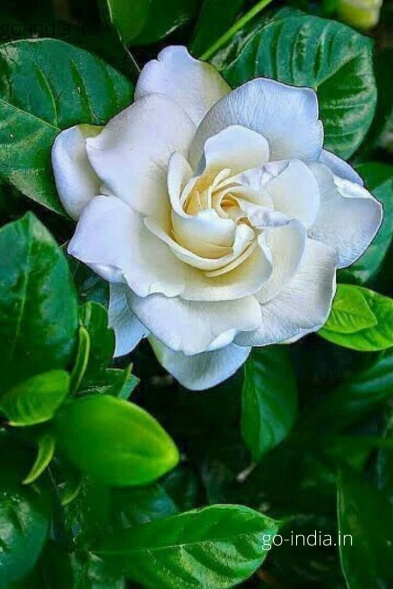 white rose with green leaves