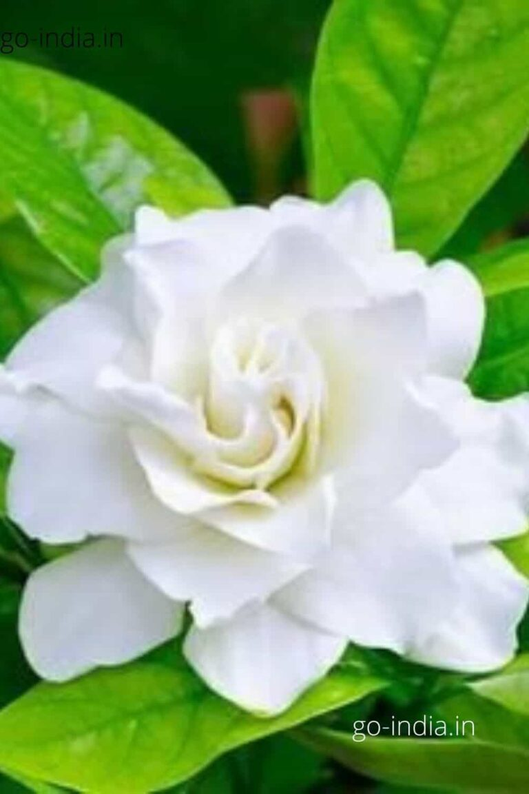 white rose with light green leaves