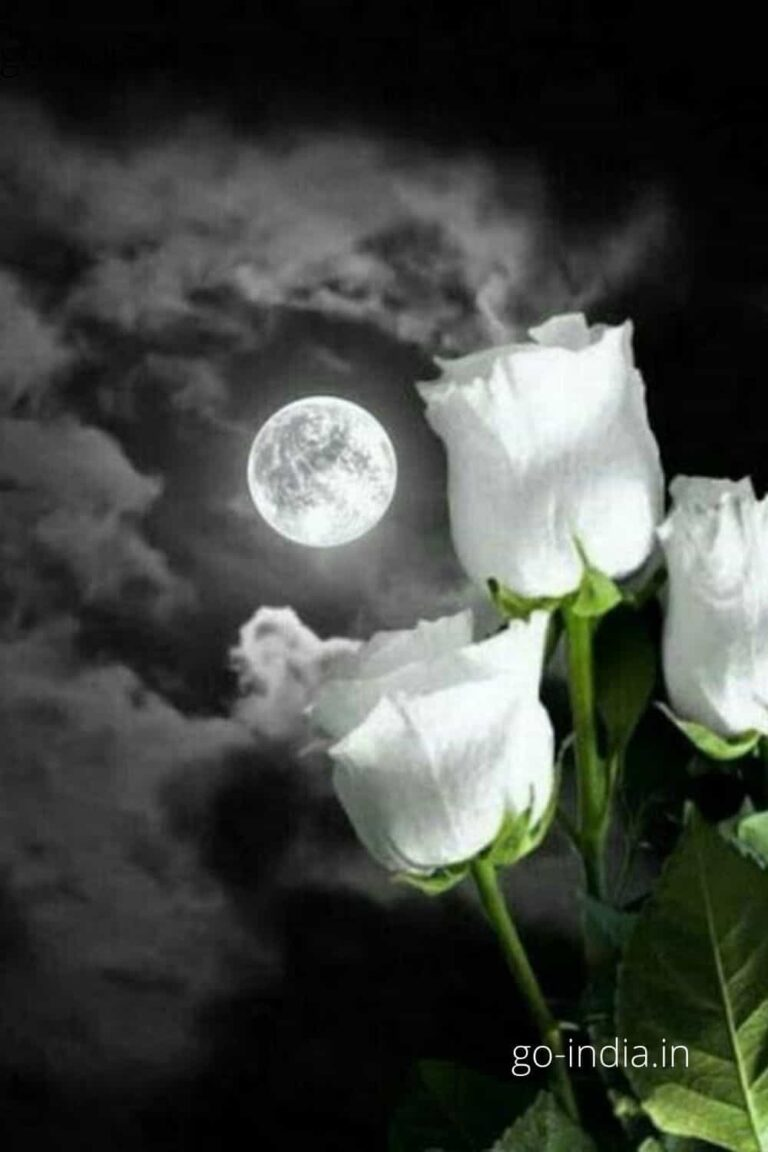 white rose with the moon besides