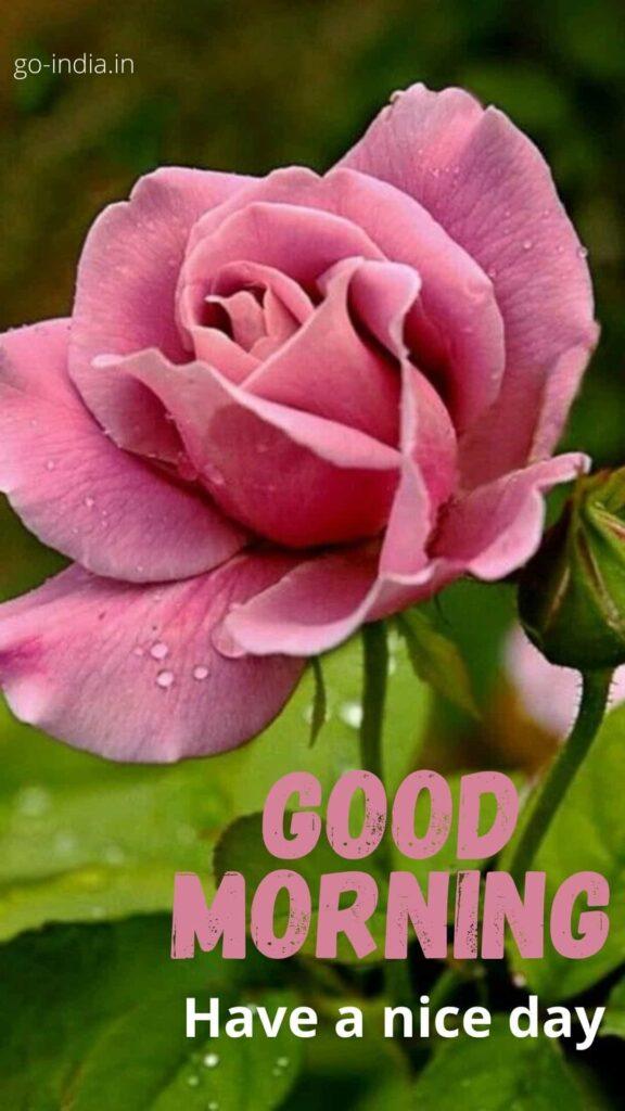 good morning rose HD