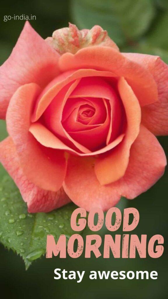 good morning rose photos
