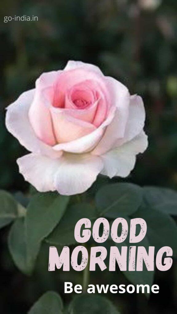 good morning rose pics